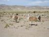 Lamy na jihu Bolívie
