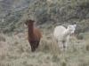 Alpaky pod vrcholem Chimborazo