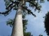Strom v provincii Petén