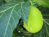 Macapan - něco jako brambora prý