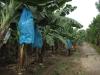 Banán: Jedna z hlavních exportních komodit