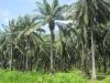 Další exportní artikl - palma - dělá se z ní například biopalivo