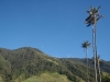 Valle del Cocora: Voskoveň andská, šp: Palma de Cera, anglickyWax palm. Národní strom Kolumbie